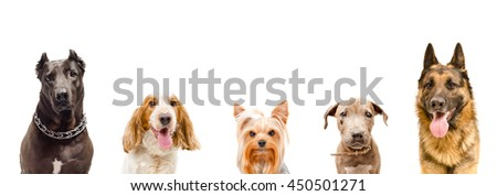 Portrait of dogs together, closeup, isolated on white background