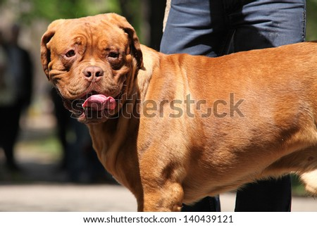 Portrait of Dogue de Bordeaux dog