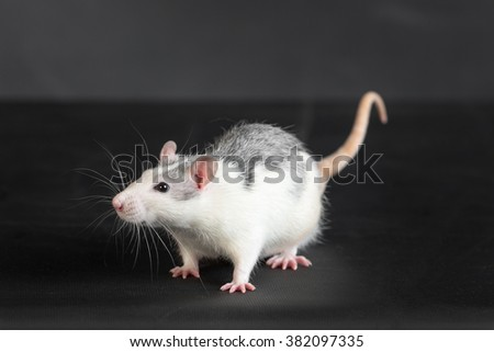 portrait of domestic rat on a black background
