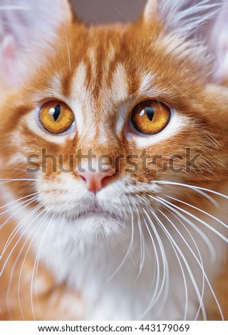 Portrait of domestic red Maine Coon kitten, 3,5 months old - stock photo