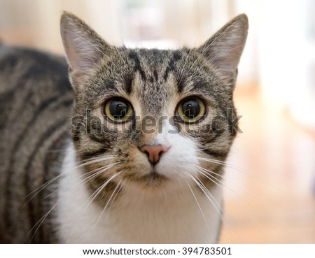 portrait of domestic tabby coat cat living in room