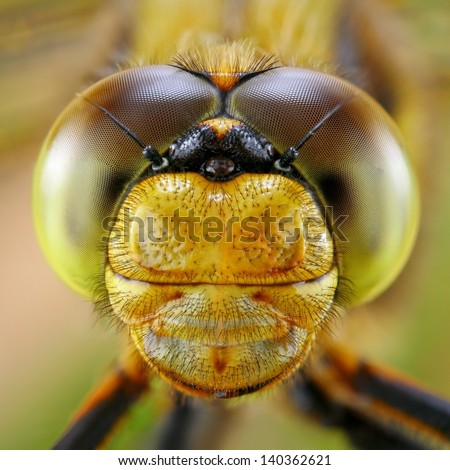 Portrait of Dragonfly - stock photo