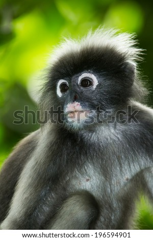Portrait of Dusky Leaf-monkey (Trachypithecus obscurus)  in nature at Kengkrajarn national park Thailand - stock photo