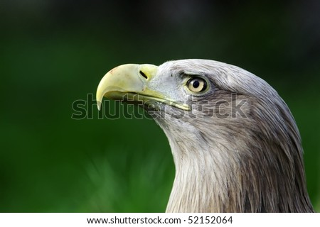 Portrait of eagle - stock photo