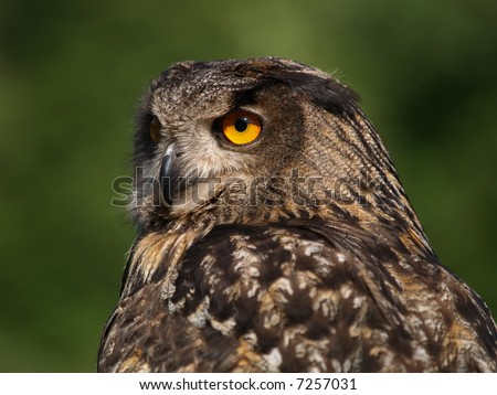 Portrait of Eagle Owl - stock photo