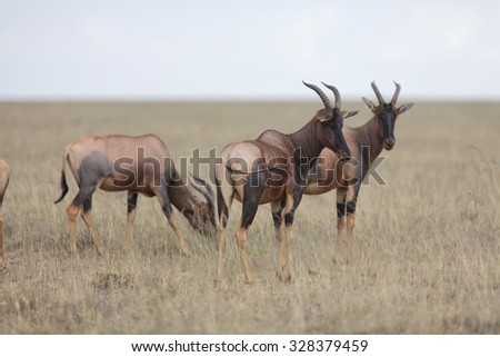 Portrait of east african topi antelope