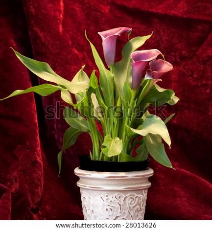 Portrait of Easter Calla Lilly on Red Velvet - stock photo