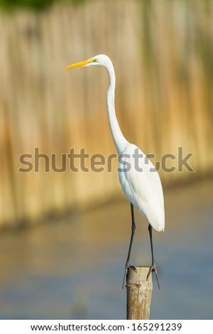 Portrait of Eastern Great Egret (Ardea modesta)  in nature - stock photo
