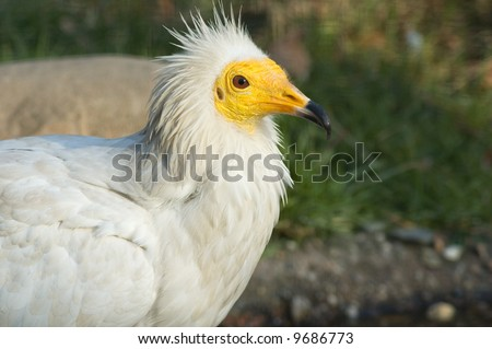 Portrait of egyptian vulture bird