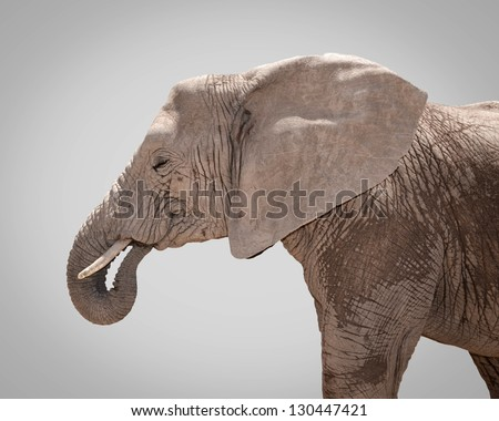 Portrait of elephant against gray background - stock photo