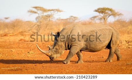 Portrait of endangered white rhinoceros at sunset on red sand, South Africa - stock photo