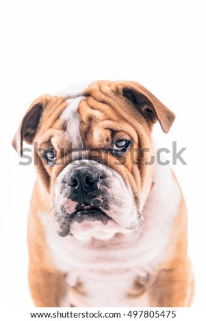 Portrait of English bulldog pup on white background