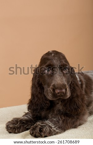 portrait of english cocker spaniel, european champion, breeding station - stock photo