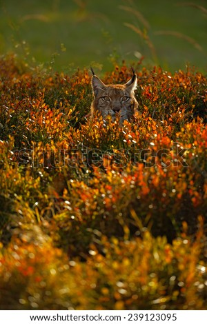 Portrait of Eurasian Lynx in autum orange blueberry with evenig sun - stock photo