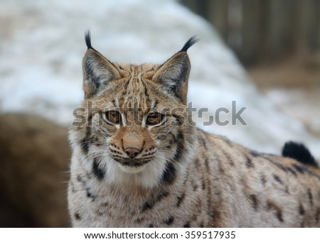 Portrait of Eurasian lynx (Lynx lynx) - stock photo