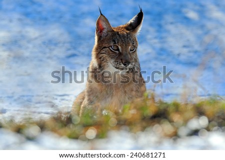 Portrait of Eurasian Lynx on snow in winter - stock photo