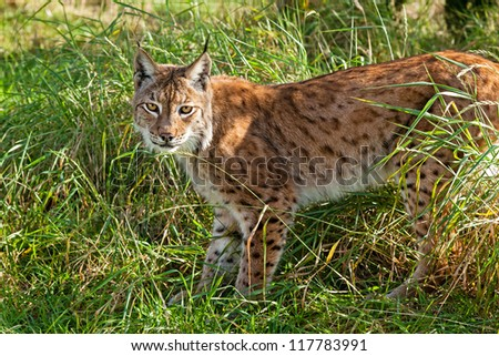 Portrait of Eurasian Lynx Standing in Long Grass in Afternoon Sunshine - stock photo