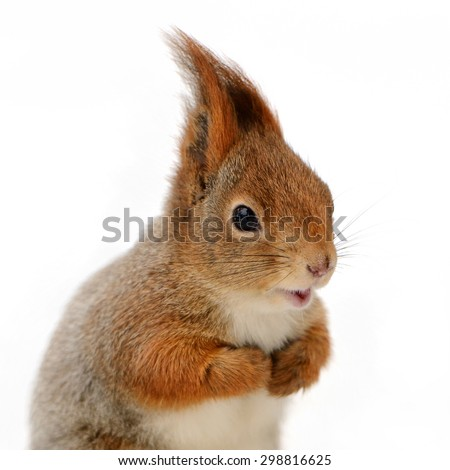 Portrait of eurasian red squirrel in front of a white background - stock photo