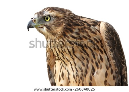 portrait of eurasian sparrowhawk ( Accipiter nisus )  isolated over white background - stock photo
