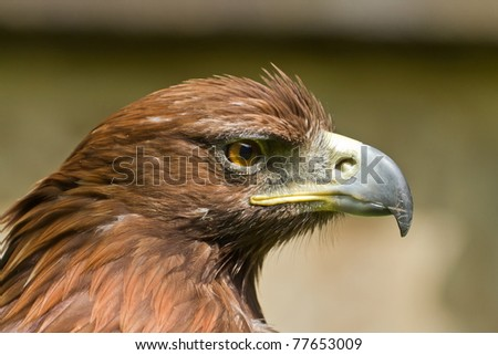 portrait of female golden eagle