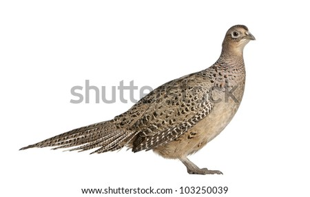 Portrait of Female Golden Pheasant or 'Chinese Pheasant', Chrysolophus pictus, standing in front of white background