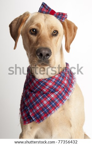 Portrait of female Yellow Labrador Retriever wearing plaid hair bow - stock photo