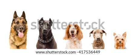 Portrait of five dogs isolated on white background  - stock photo