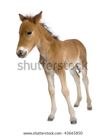 Portrait of foal, 4 weeks old, standing in front of white background, studio shot - stock photo