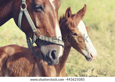 Portrait of foal with his mother - stock photo
