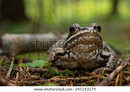 Portrait of forest frog in native habitat. - stock photo