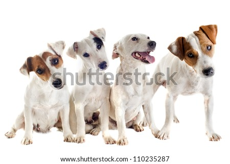 portrait of four purebred jack russel terrier in studio