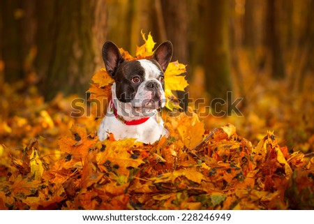 Portrait of french bulldog in autumnal scenery - stock photo