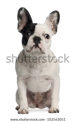 Portrait of French Bulldog, 8 months old, sitting in front of white background - stock photo