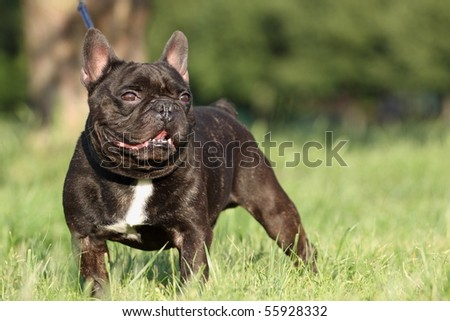 Portrait of french bulldog outdoors