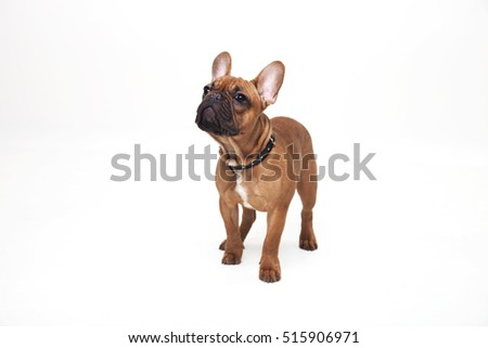Portrait of French bulldog studio shot