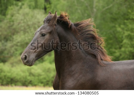 Portrait of friesian horse running on pasturage in summer