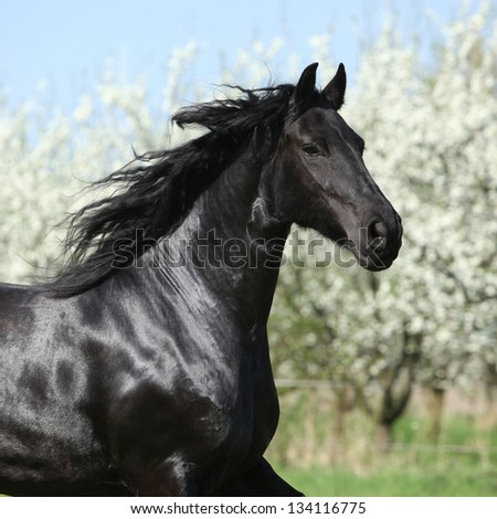 Portrait of friesian mare in front of flowering plum trees - stock photo