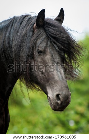 Portrait of frisian stallion