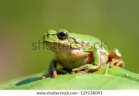 Portrait of Frog - stock photo