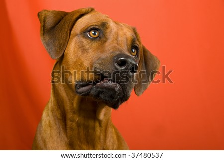 Portrait of funny Rhodesian Ridgeback dog on orange background