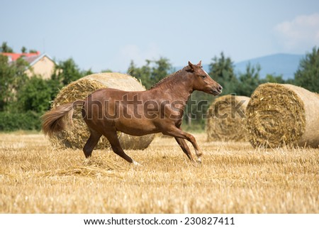 Portrait of galloping pony in the field