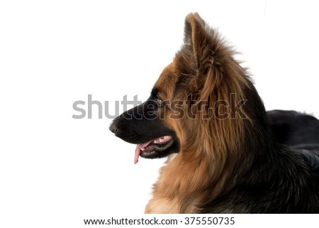 Portrait of german shepperd dog lie down on background swimming pool