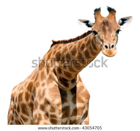 Portrait of giraffe (Camelopardalis) isolated on white background
