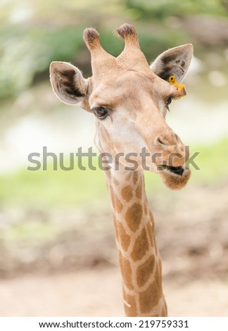 Portrait of giraffe in park - stock photo