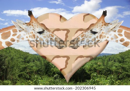 Portrait of  giraffes in love - stock photo