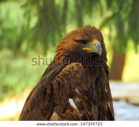 Portrait of golden eagle (Aquila chrysaetos daphanea) inhabited in wood of Tien Shan range, Kyrgyzstan, Central Asia  - stock photo