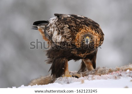 Portrait of Golden Eagle with prey - stock photo