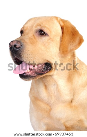 Portrait of golden labrador in studio in front of the white backgroun - stock photo