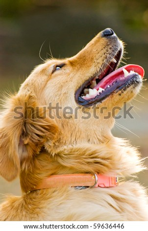 Portrait of Golden Retriever. Dog raises head. - stock photo