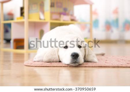 Portrait of golden retriever puppy lying on the floor - stock photo